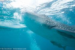 BD-151228-Oslob-1281-Rhincodon-typus.-Smith.-1828-[Whale-shark.-Valhaj].jpg